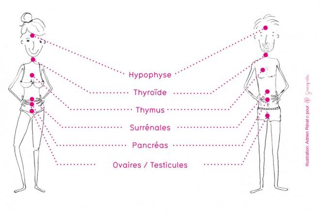 Greenpride-bebe-bonne-sante-schema-systeme-endocrinien-femme-enceinte-adrien-rérat-660x438